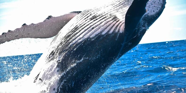 Sous prétexte de recherches scientifiques, le Japon veut reprendre la chasse à la baleine