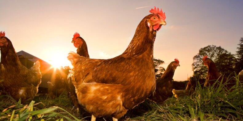 Pour manager, suivez l'exemple... des poules
