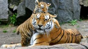 Abeilles, tigres, girafes... alerte à l'extinction des espèces animales