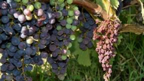Millésime exceptionnel en vue pour champagnes et bourgognes, grâce à la sécheresse