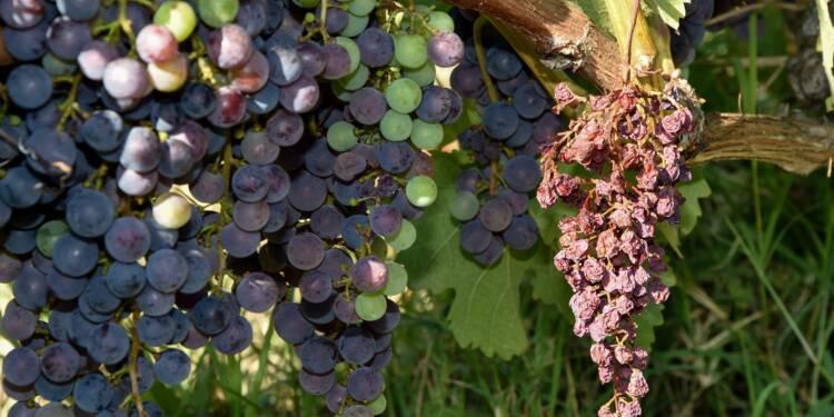 Vin: la production en France remontera de 25% cette année, après un cru 2017 catastrophique
