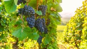 Gironde : ils volent des raisins pour augmenter la production d'un château local