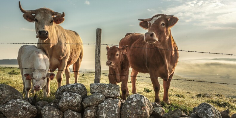 Agriculture : un veau à dix euros… les conséquences désastreuses de la sécheresse 2018