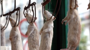 "À Paris, une association part en guerre contre le ""massacre"" des rats"