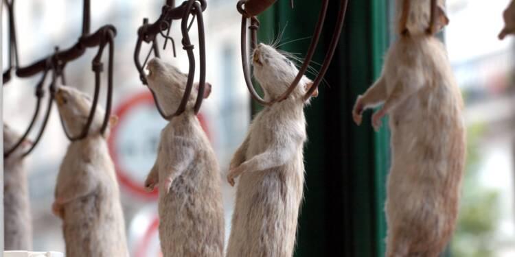 """À Paris, une association part en guerre contre le """"massacre"""" des rats"""