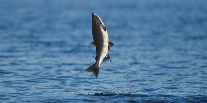 Pays Basque contre Béarn : jusqu'où ira la guerre du saumon sauvage ?