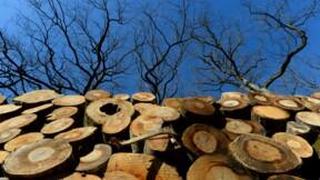 Une tonnellerie fait abattre un chêne tricentenaire pour fabriquer des barriques