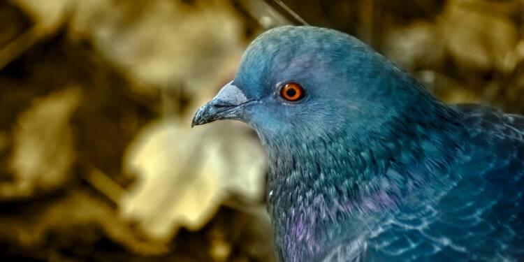Un pigeon voyageur vendu pour une somme astronomique