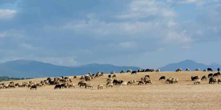 Des éleveurs corses proches de la FDSEA soupçonnés d'escroquerie