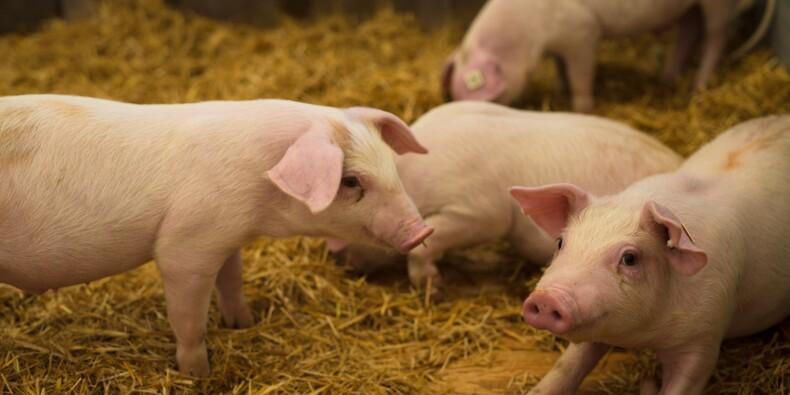 Les conséquences dévastatrices du virus du cochon