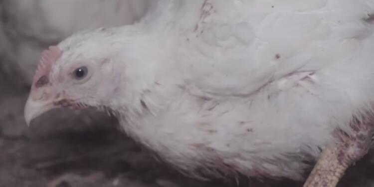 Une nouvelle vidéo choc de L214 dénonce un élevage de poulets du Puy-de-Dôme