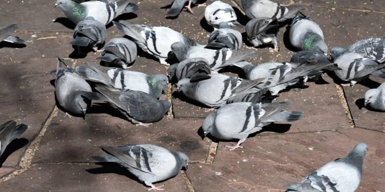 À Aurillac, nourrir des pigeons risque de vous coûter cher