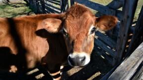 Une nouvelle vidéo choc de L214 montre le calvaire des veaux laitiers