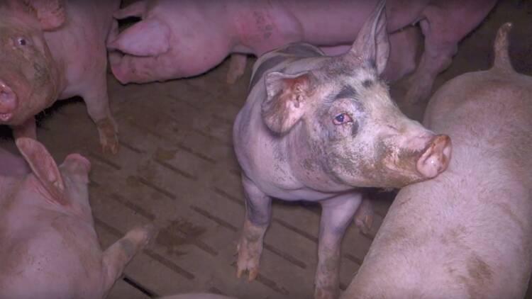 Cochonou mis en cause par une vidéo-choc sur les conditions d'élevage