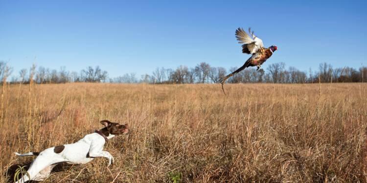 La région Ile-de-France offre-t-elle 57.500 euros de poules faisanes aux chasseurs ?