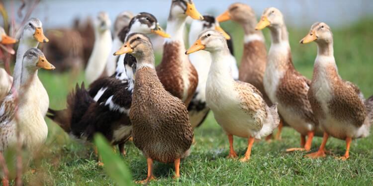 Pour régler un conflit de voisinage, des canards vont sentir la framboise