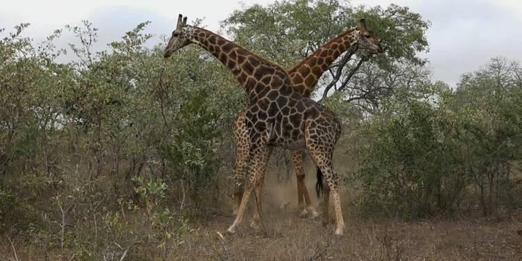 Safari en Afrique : la fédération nationale des chasseurs attaque Super U en justice