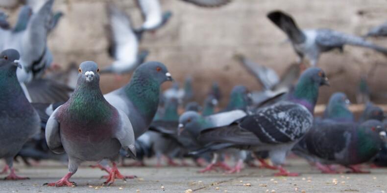 Royaume-Uni : il touche le pactole après avoir glissé sur une fiente de pigeon