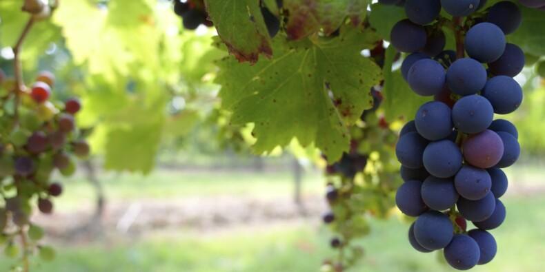 La production française de vin devrait très fortement baisser