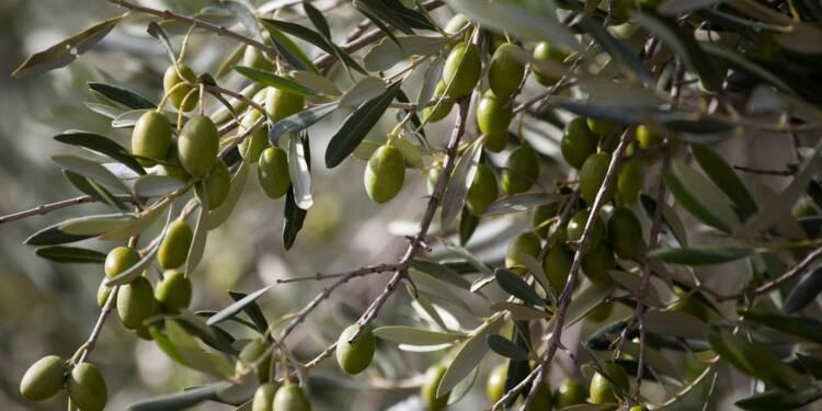 Annus horribilis pour les oliviers de la Côte d'Azur