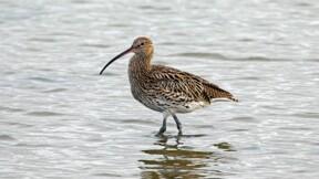 La justice supprime l'arrêté ministériel autorisant la chasse d'un oiseau menacé d'extinction