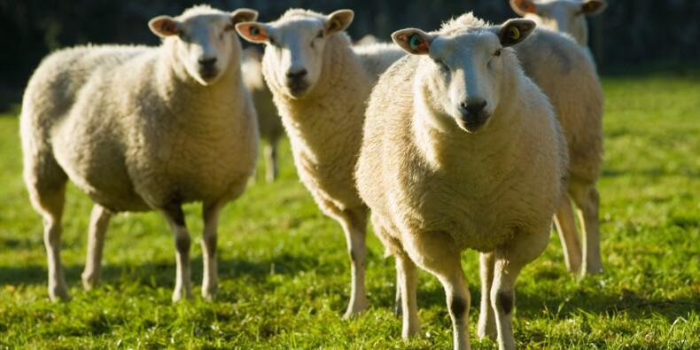La prison de Saran demande aux matons de surveiller aussi les moutons