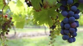 Le vol de raisin coûte cher aux vignerons