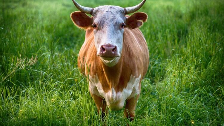 Indre-et-Loire : le projet d'agrandissement d'une ferme fait polémique