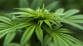 "Le confinement a dopé le cannabis ""made in France"""