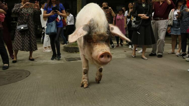 La Chine veut élever des porcs aussi gros que des ours polaires