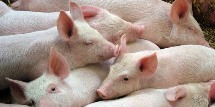 Israel Autorise L Importation De Porc Casher Capital Fr