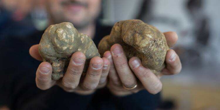 Une truffe blanche vendue à un prix record en Italie