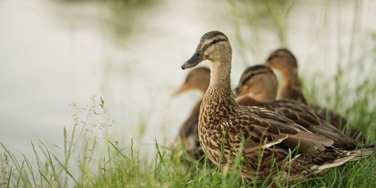 Des militants de la cause animale auraient provoqué la mort d'une centaine de canards