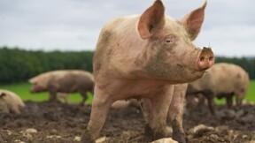 Un couple d'agriculteurs ruiné par le bruit et l'odeur de ses cochons