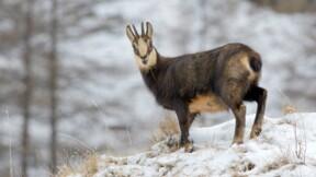 Un safari pour chasser le chamois fait polémique dans le Vaucluse
