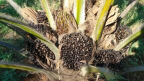 Plongeon historique de l'huile de palme, l'Inde va boycotter les importations de Malaisie