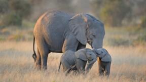 Éléphants à vendre : ces enchères polémiques organisées au Botswana
