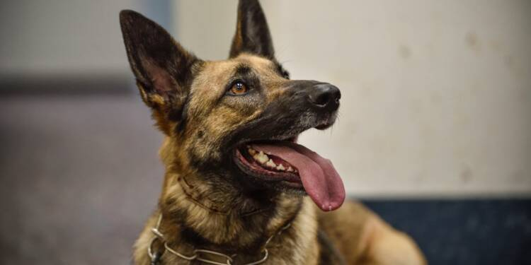 Cancer : des chiens renifleurs de tumeurs testés par l'Institut Curie