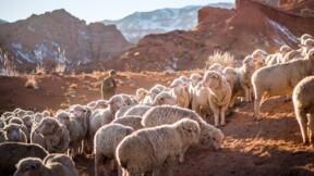 Le mouton le plus cher du monde vendu plus de 400.000 euros