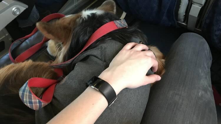 Air France assignée en justice pour avoir refusé un chien de soutien émotionnel