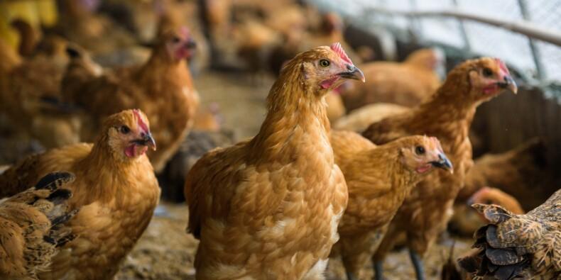 Abattoirs : les gros ratés de la loi Alimentation