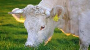 Renoncer à la viande pour des raisons éthiques est assez nouveau