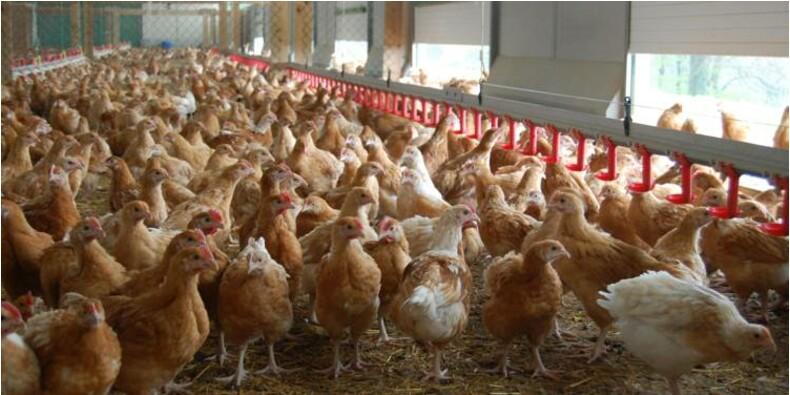 """Lidl espère arriver à """"100%"""" de poulets Made in France"""