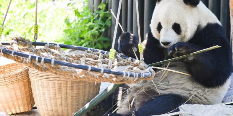 Incapable de les nourrir, le Canada doit rendre ses pandas