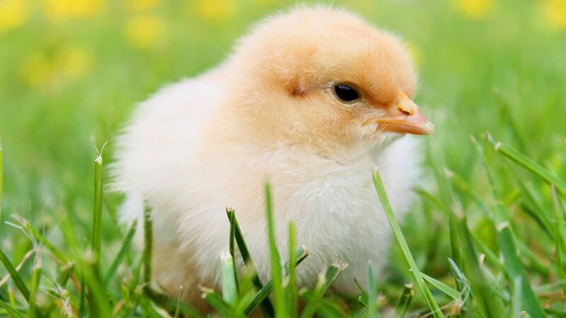 Les poules pondeuses, grandes gagnantes de la crise sanitaire