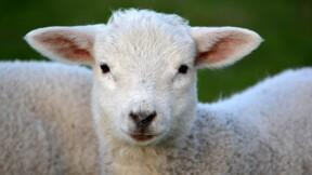 Un abattoir d'agneaux de l'Aveyron perd son agrément après une vidéo choc de L214