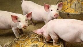 En Chine, un nouveau virus est en train de contaminer les ouvriers des abattoirs de porcs