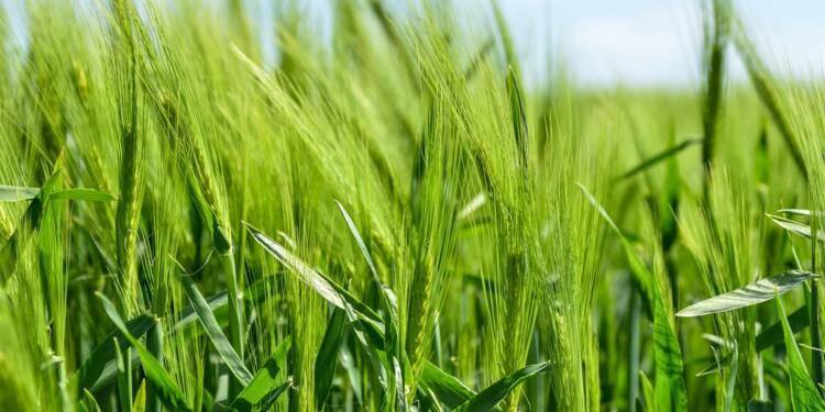 Bientôt le retour d'un insecticide pour sauver la filière de la betterave ?