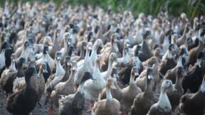 Après une vidéo choc de L214, l'Etat demande la fermeture d'un élevage de canards