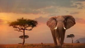 """La vie de """"l'éléphant le plus seul au monde"""" va peut-être changer"""
